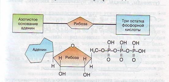 вопрос теста Строение молекулы АТФ
