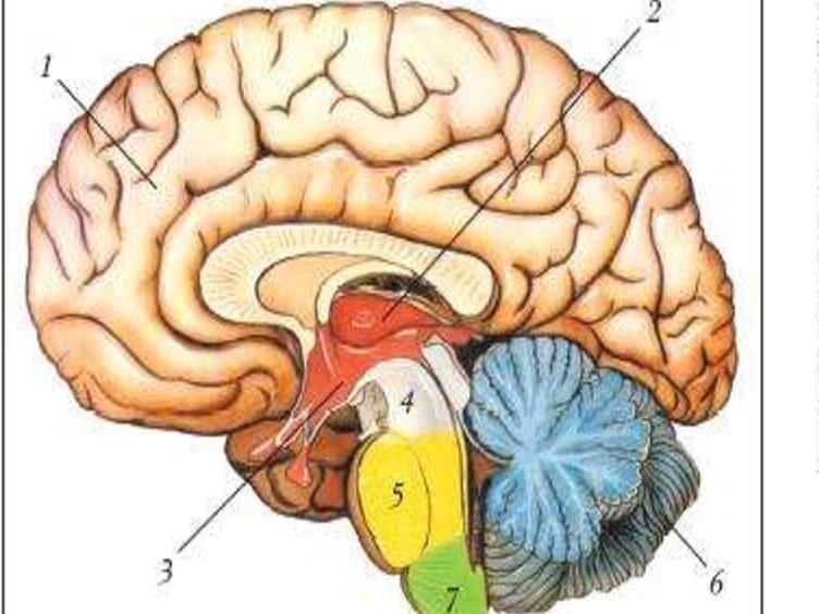 вопрос теста Отделы головного мозга