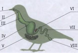 вопрос теста Пищеварительная система птицы