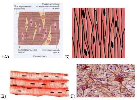 вопрос теста Волокна сердечной мышечной ткани