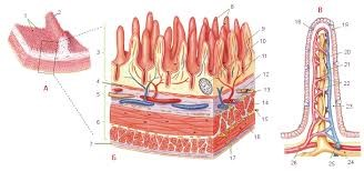 вопрос теста Стенка тонкого кишечника