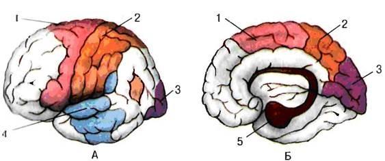 вопрос теста Зоны полушарий коры головного мозга